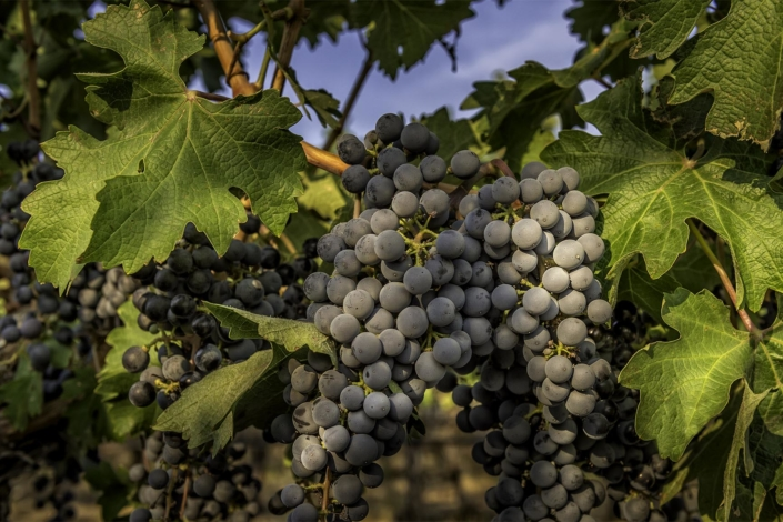 Commercial Photography. Wine grapes on the vine.