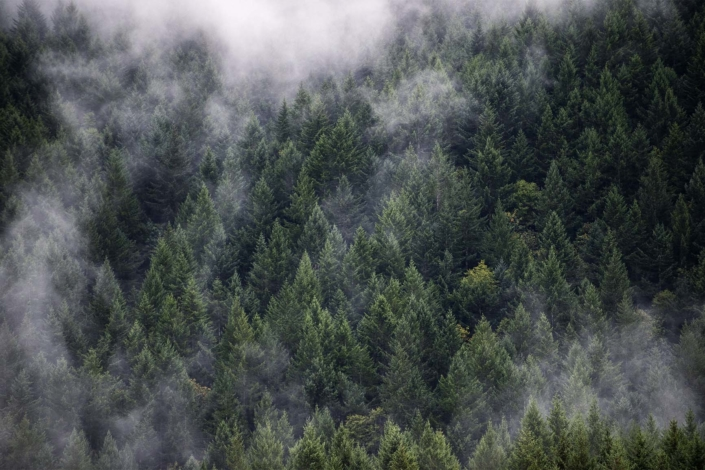 Landscape Photography. Misty clouds hanging over Douglas Fir forest.