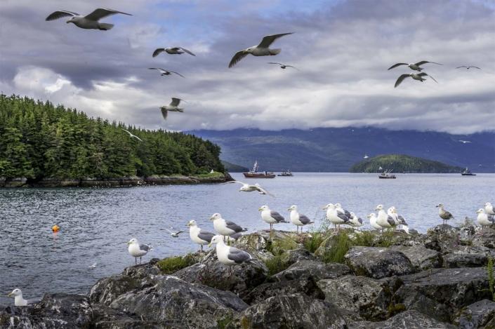 Seagulls at Cordova, Alaska.