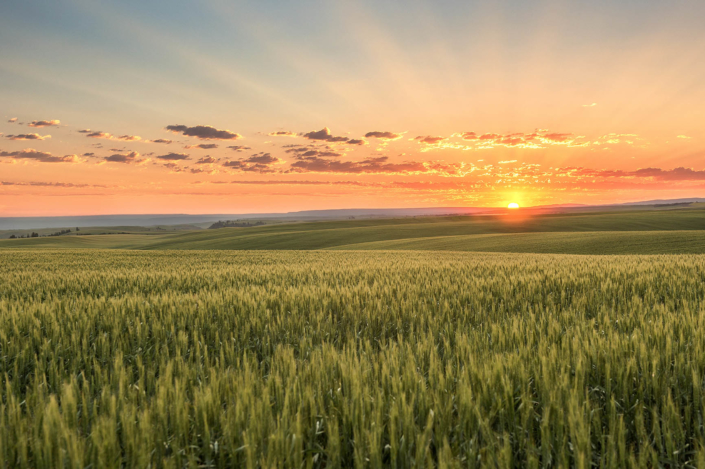 First rays of sunlight over wheat fields in Eastern Washington wheat fields.